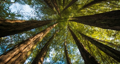 Looking up at the sky, surrounded by circle of redwood trees