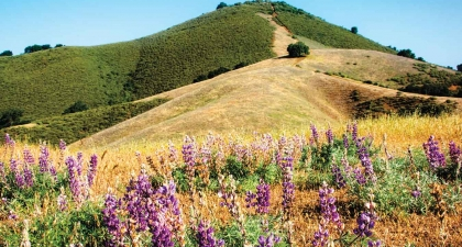 Green and golden peak of El Toro hill with purple lupine wildflowers blooming at the bottom of the slope