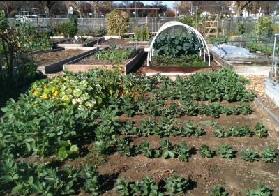 Community Garden with raised beds and rows of plants