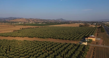 Aerial view of Frantoio Grove property with rows of olive trees and mountains in distance