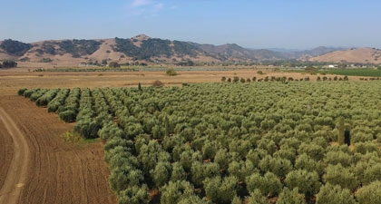 Aerial view of Frantoio Grove's orchard of olive trees