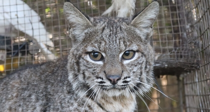 Close up of bobcat's face
