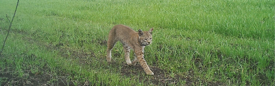 Bobcat walking across green farm field