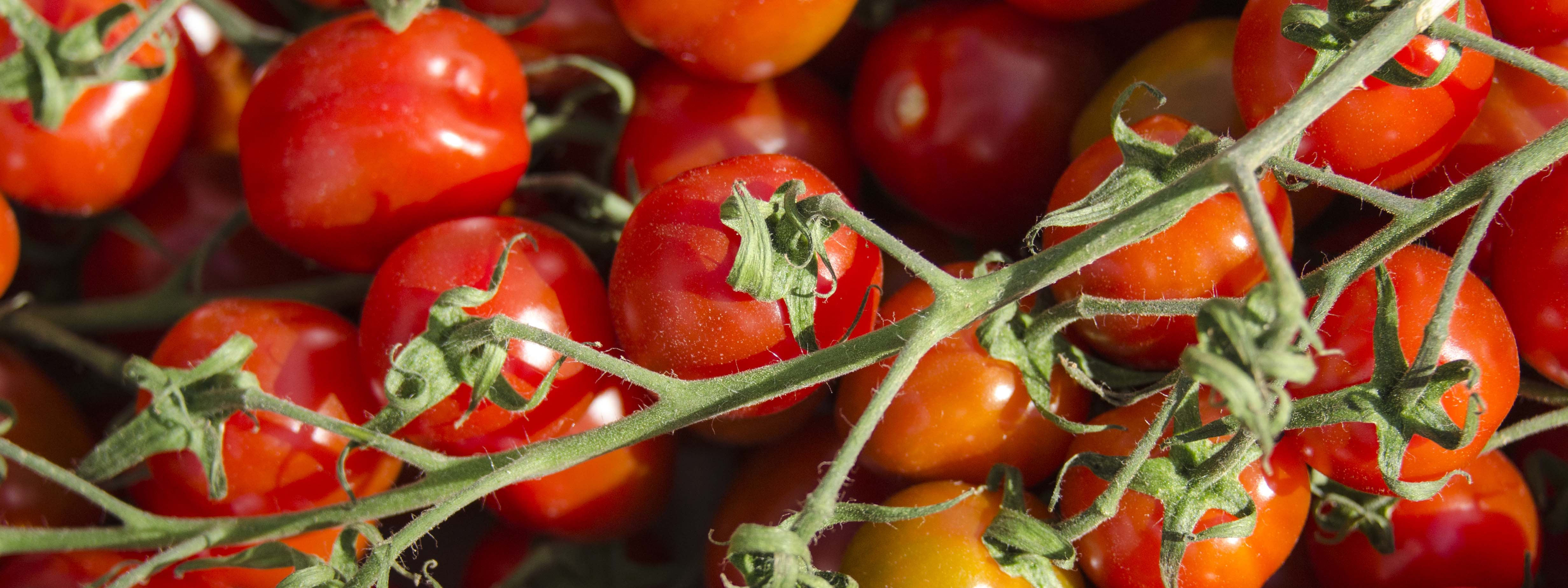 Close-up of red cherry tomatoes