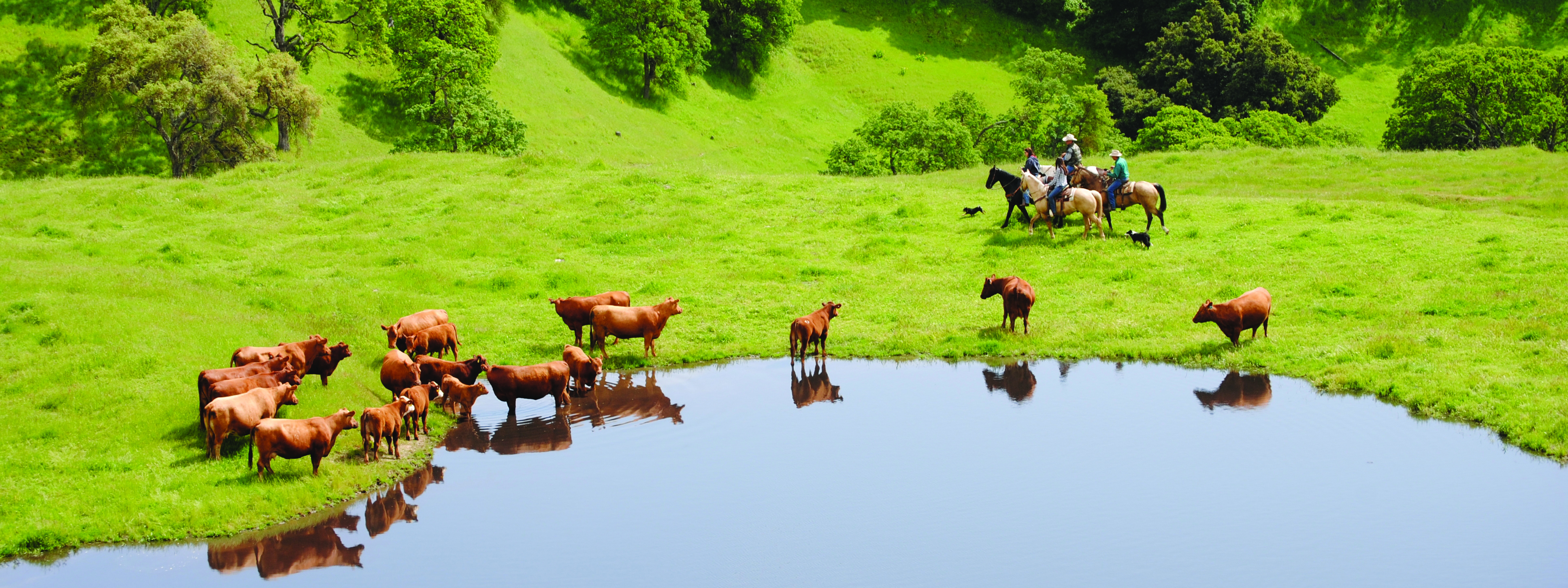 Herd of brown cows on green grass around a large pond, four riders on horses circling the cows