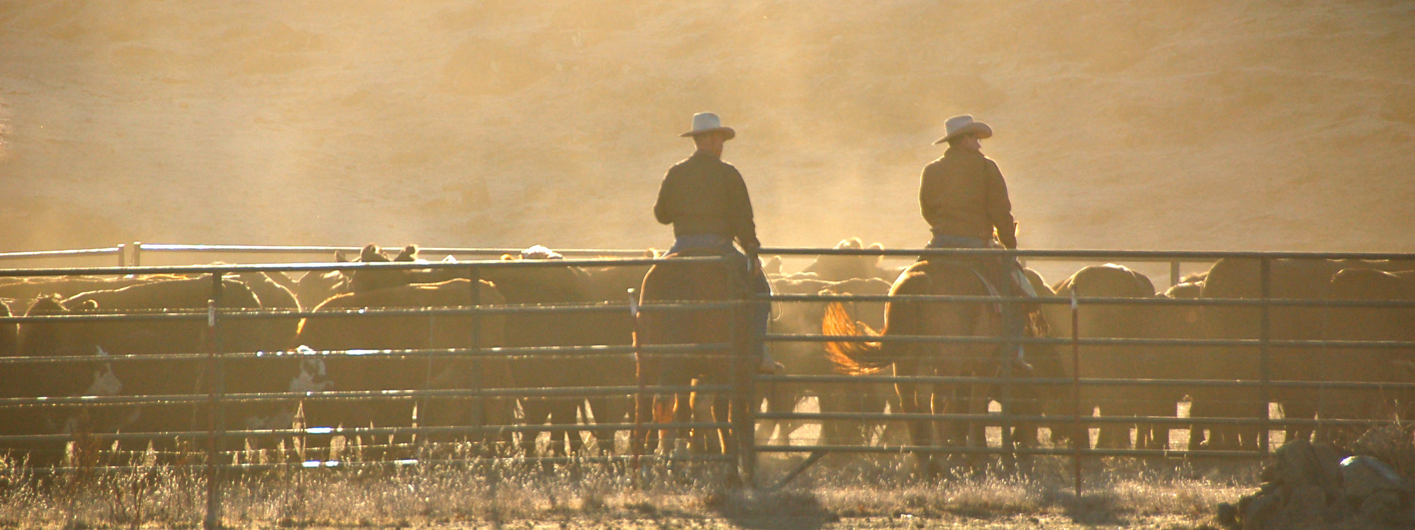 Two ranchers with cowboy hats on horseback in dusty corral filled with cattle