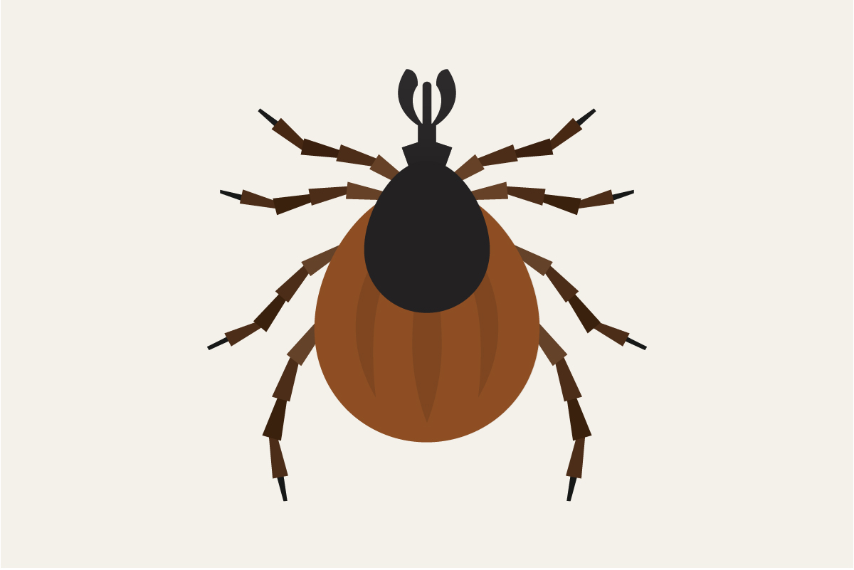 Illustration of brown and black tick