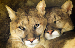 Close-up of two mountain lions nuzzling heads