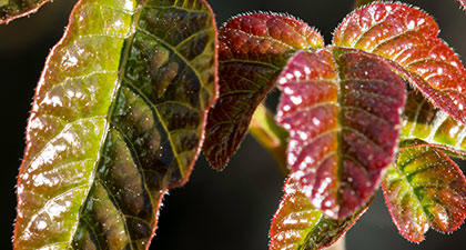 Close-up of shiny green and red poison oak leaves