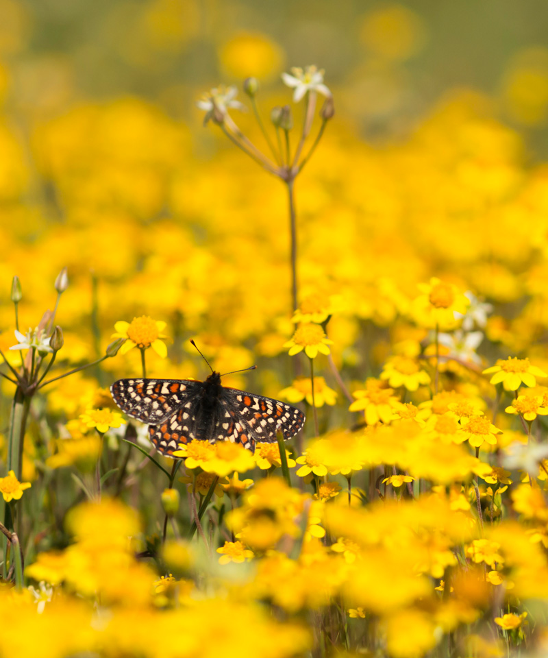 Bay Checkerspot Butterfly in field of yellow wildflowers