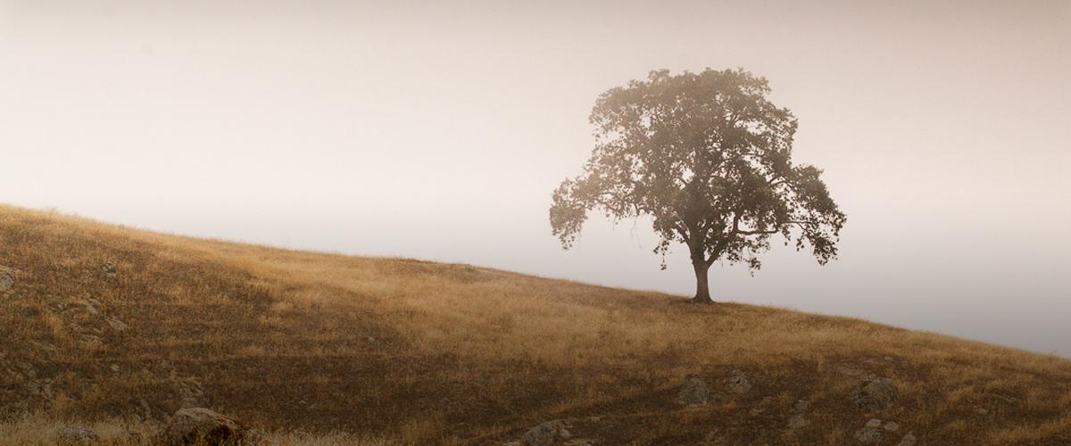 Lone oak tree on brown hillside