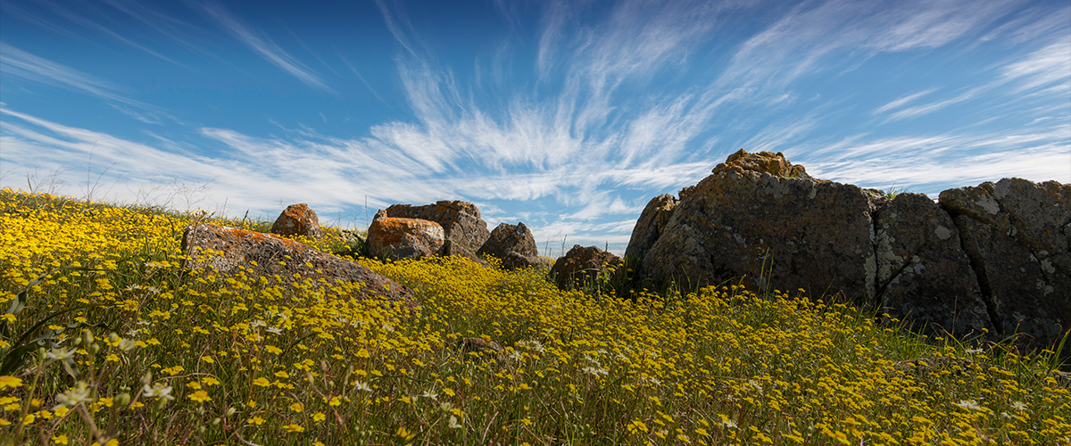 Field of yellow wildflowers and large lichen-covered rocks under a blue and white streaked sky