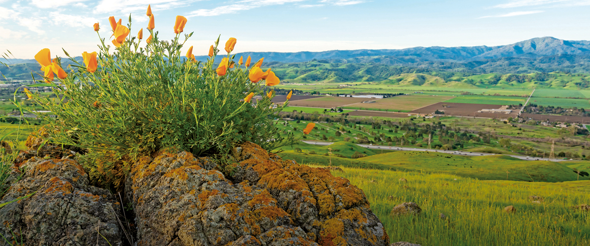 California Poppies growing on top of a lichen-covered rock, looking down on a green Coyote Valley with blue Santa Cruz Mountains in the distance