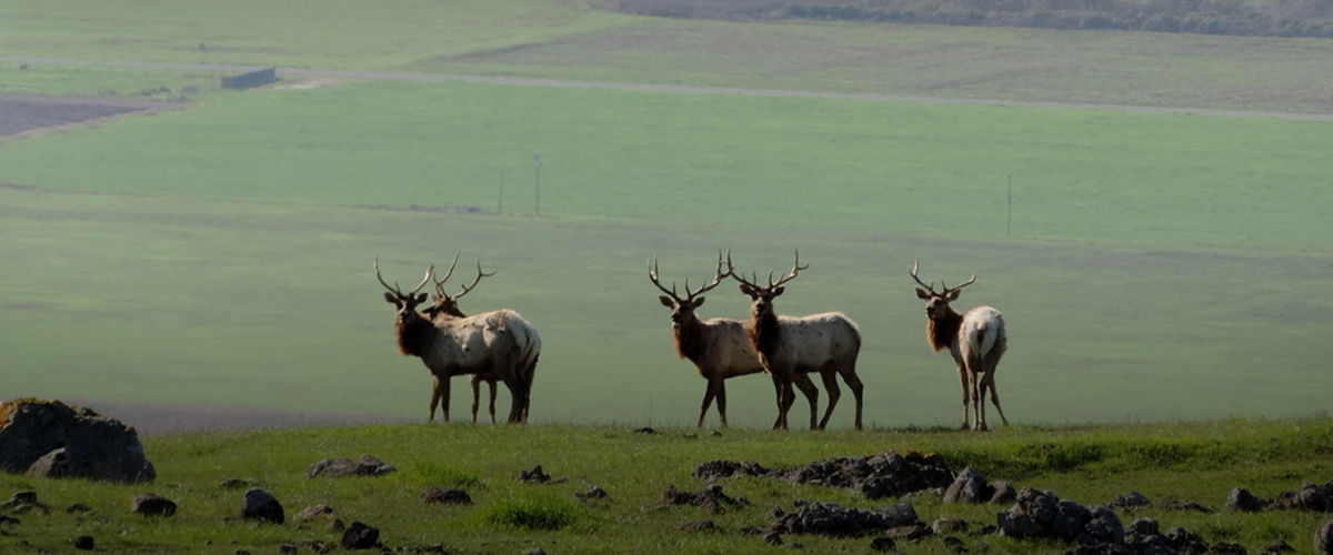 Five male tule elk with huge antlers standing at the top of a green hill, with a flat green valley below